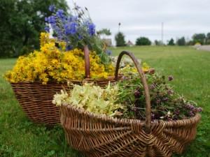 Į laukus vaistažolių