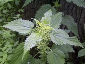 Lietuviškiausias 2021-ųjų vaistinis augalas – didžioji dilgėlė