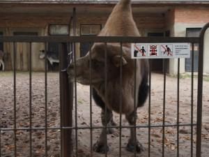Ligų šaltinis – nekaltas kontaktas su žvėrimis