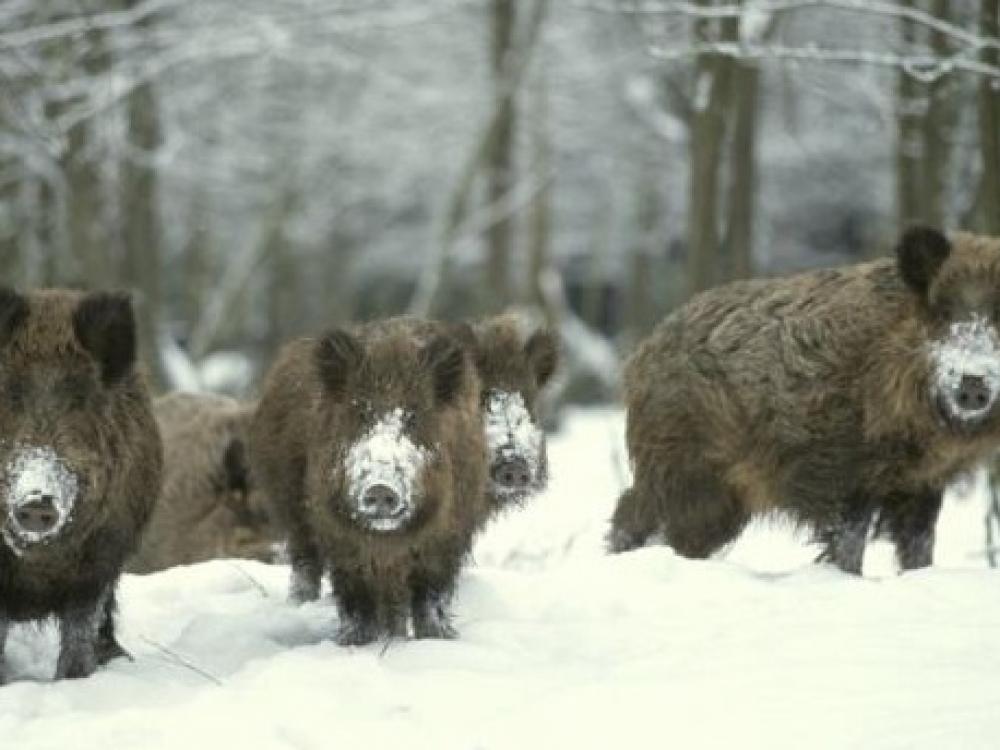 Kiaulių maras: kalbos pritilo, pavojos tebeegzistuoja