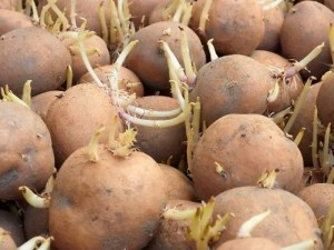 Bulvių daigų užpiltinė – tik su gydytojo nurodymu