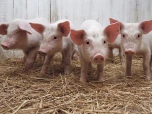 Plečiamos Afrikinio kiaulių maro zonos