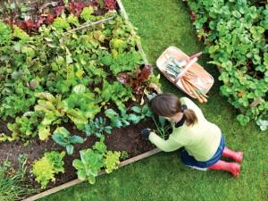 Nuimdami derlių patausokime nugarą