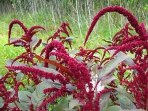 Ilgaamžiškumo sėklytės, maistingumu lenkiančios visus kitus augalus