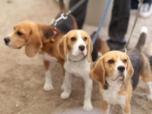 Svetur įsigyti gyvūnai gali sirgti pasiutlige