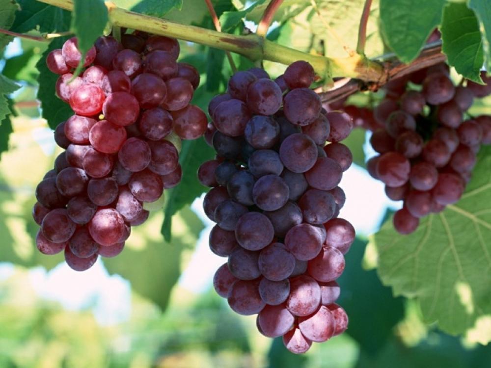Specialistė apie pesticidus: kai kurių vynuogių nereikėtų valgyti vaikams