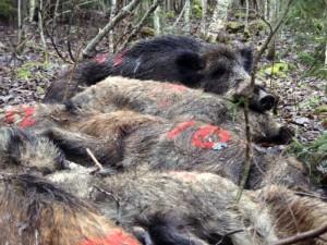 Aptartos papildomos priemonės kovojant su Afrikiniu kiaulių maru