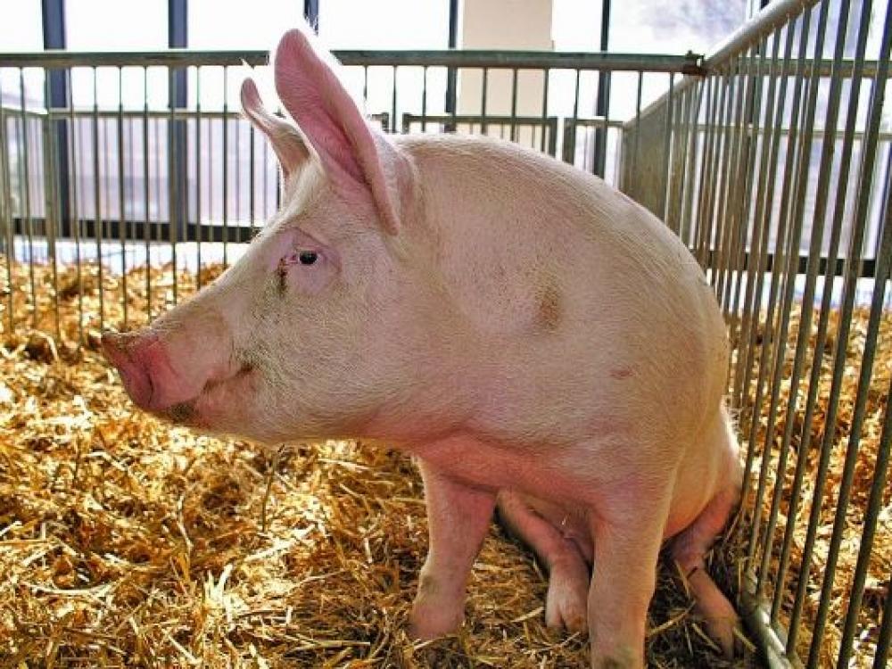Afrikinis kiaulių maras: ko išmokome per dvejus metus?