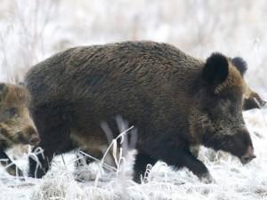 Medžiotojai: maro laukinėje gamtoje padėtis valdoma dėl taikomų priemonių