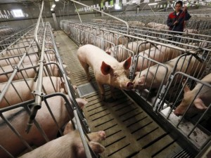 Ūkininkauti įmanoma net ir siaučiant afrikiniam kiaulių marui