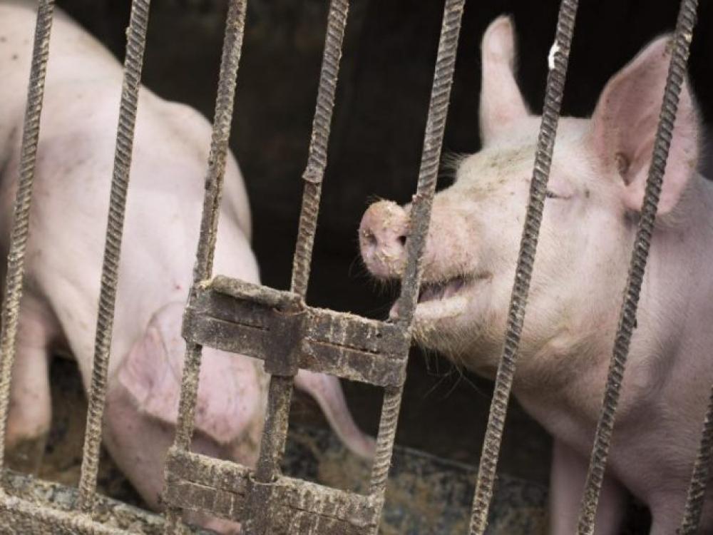 Prieš kiaulių marą kovojama ryžtingai