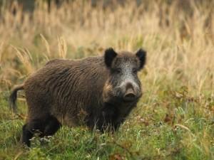 Lenkijoje nustatyti nauji afrikinio kiaulių maro židiniai