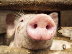 """""""Idavang"""" fermoje – afrikinio kiaulių maro protrūkis"""